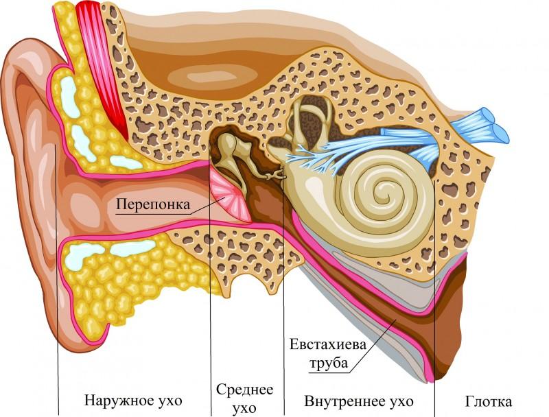 строение уха