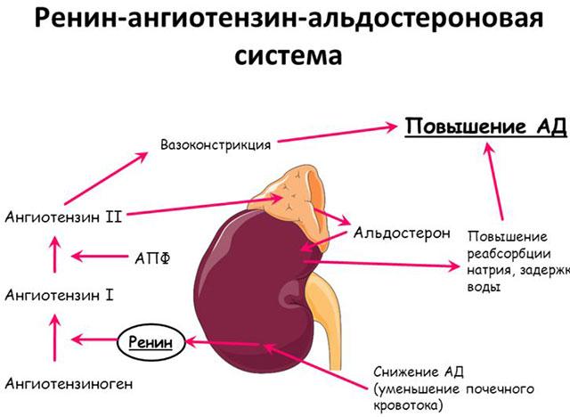 действие ингибиторов апф